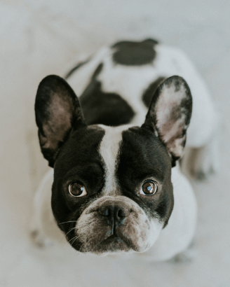 Шест важни стъпки при покупка на малко куче!
